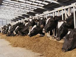 کنسانتره متوسط شیر
